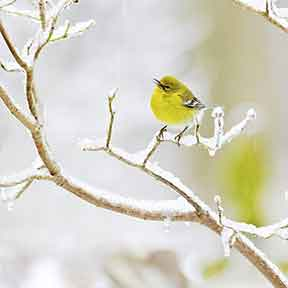 Pine Warbler Perching on Branch in Winter