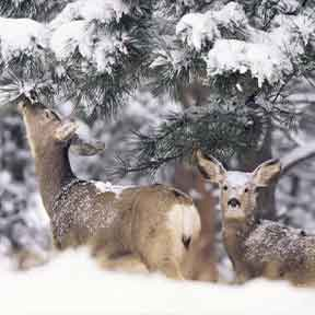 Mule Deer Mother and Fawn in Snow